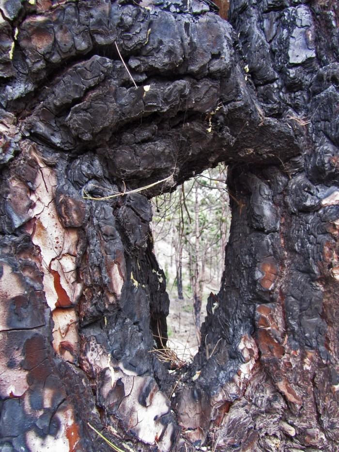 Pino canario quemado