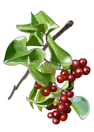 Smilax canariensis Willd