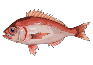 Dentex macrophthalmus (Bloch, 1791)