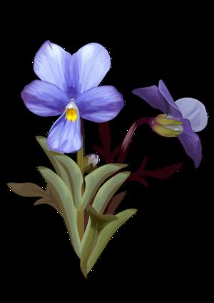 Violeta Del Teide Canariwiki