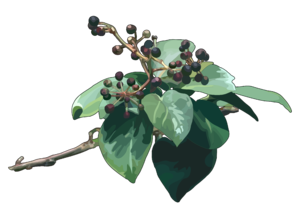 Hedera canariensis Willd.