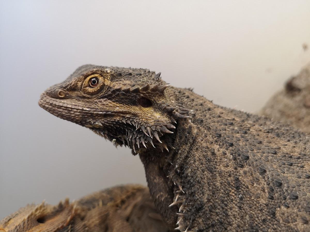 Imagen del dragón barbudo australiano