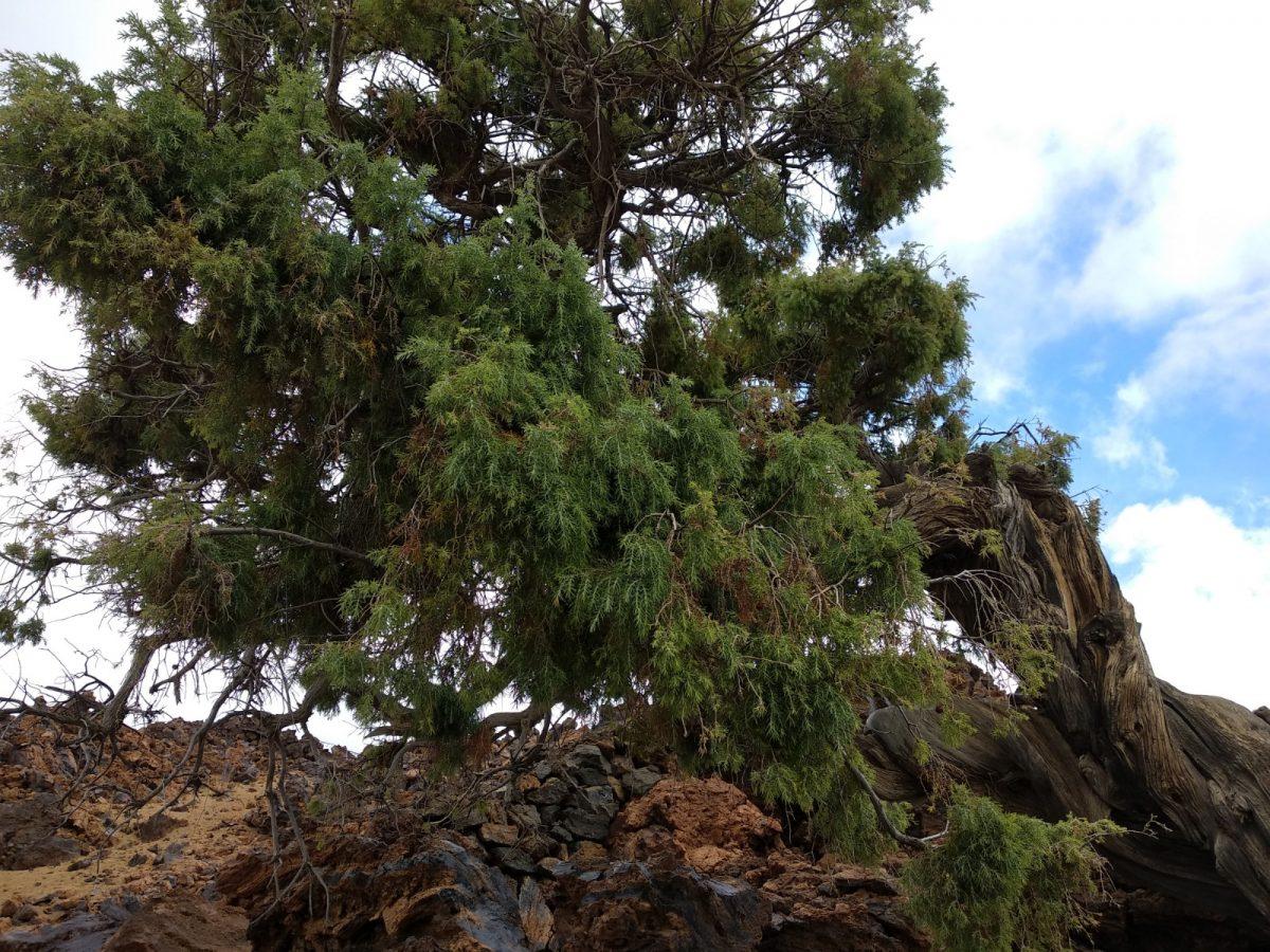 Transición Ecológica colaborará con un proyecto para proteger al cedro canario contra la tala ilegal
