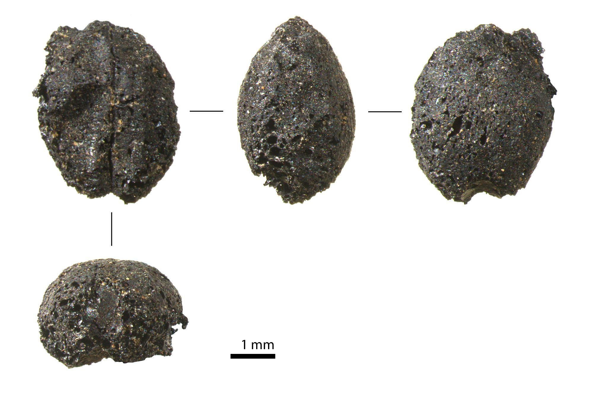 Semillas de cebada fosilizadas halladas durante las excavaciones. Foto Jacob Morales Mateos