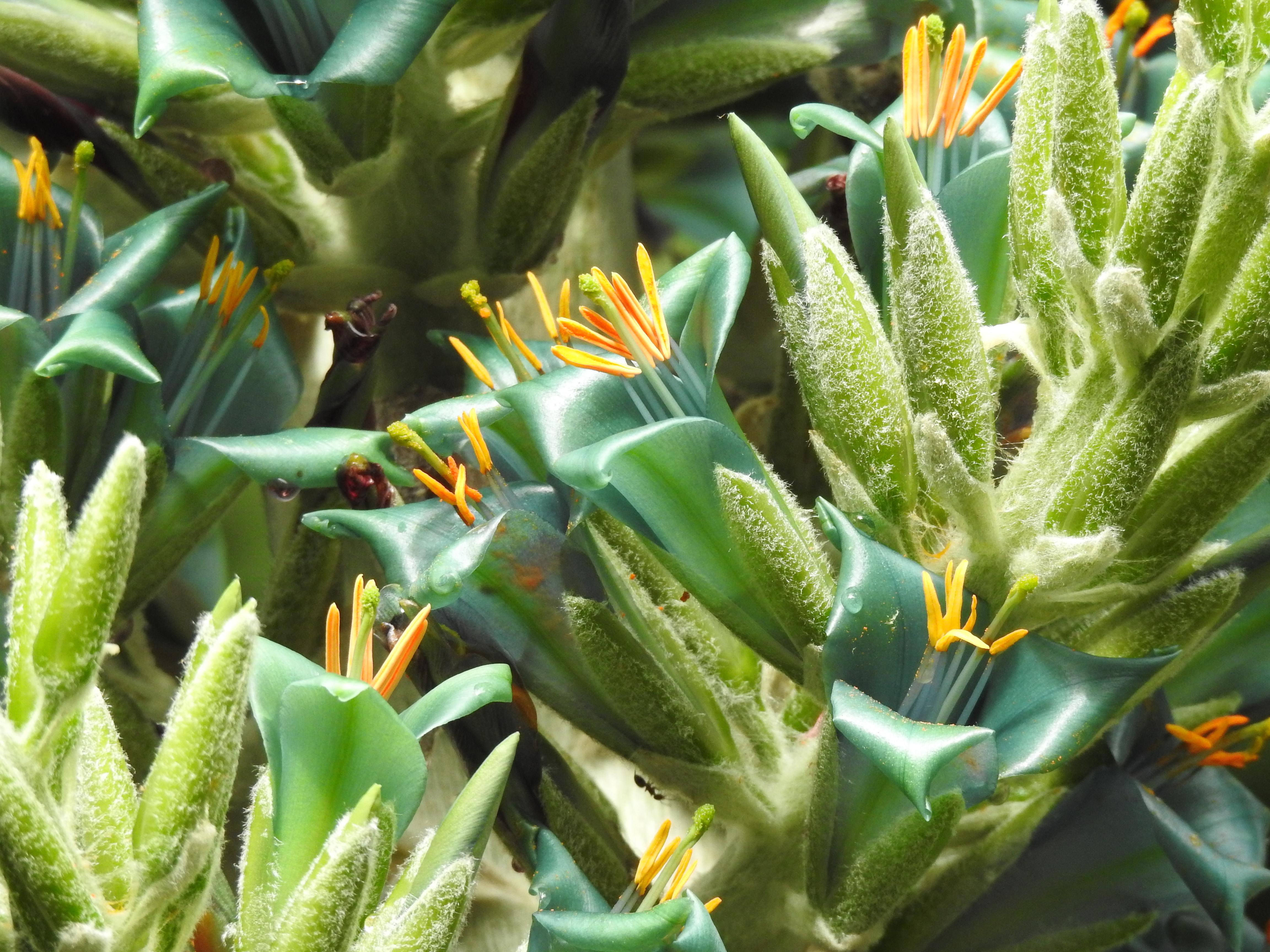 El Jardín Botánico asiste a la espectacular floración de la puya chilena y la kigelia africana