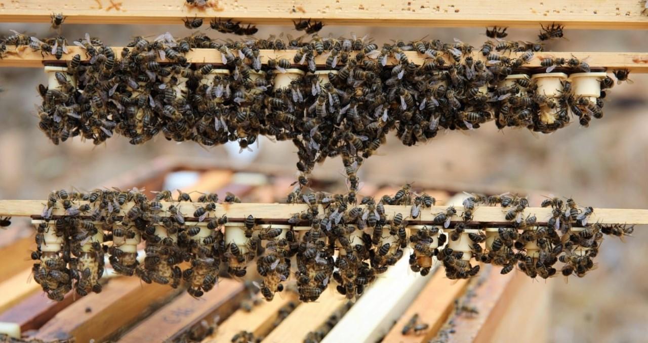 El Gobierno canario concede 539.000 euros a los productores de miel de abeja negra