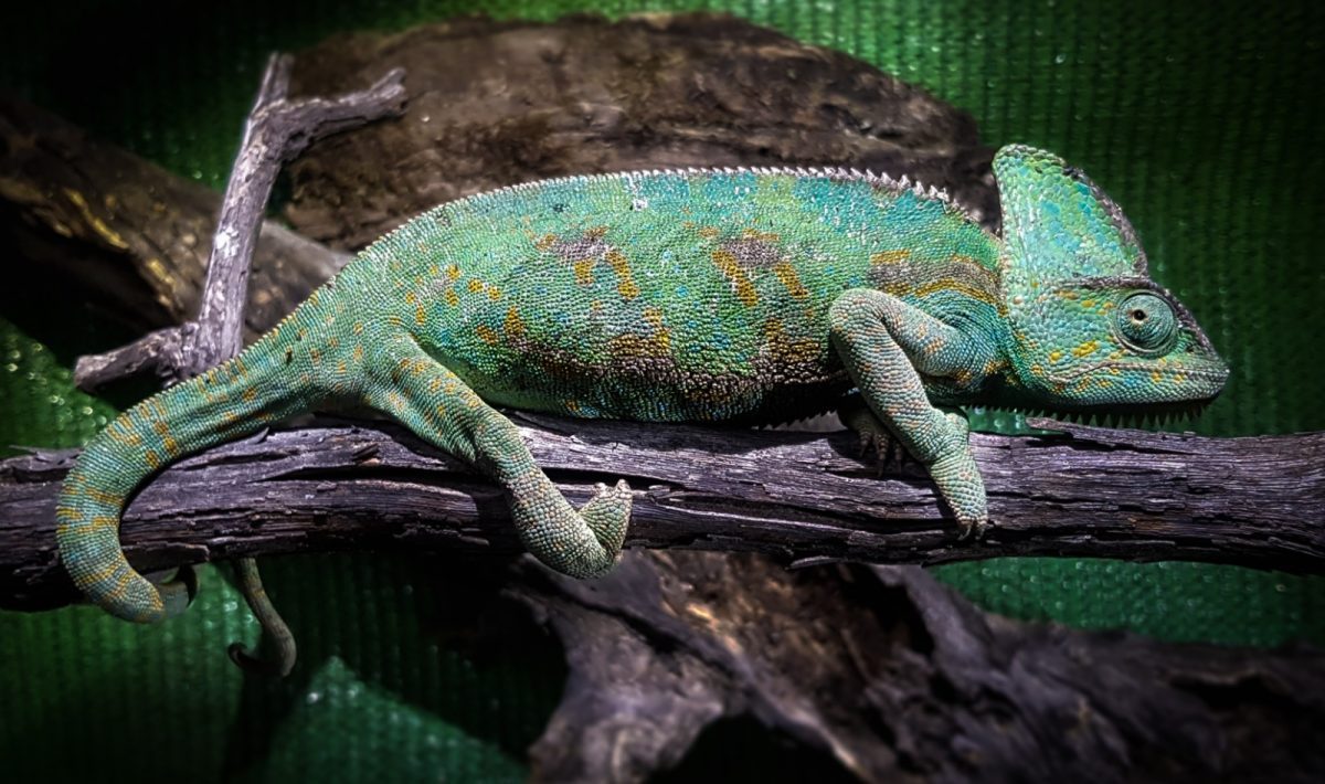 Foto de un camaleón de Yemen de Jorge Saavedra